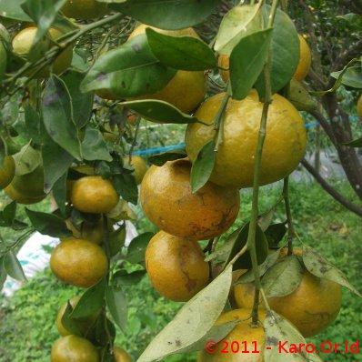 jeruk berastagi