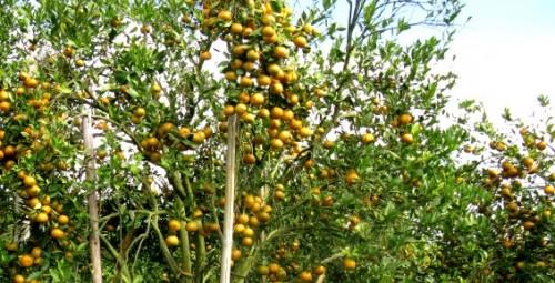Jeruk Tanah Karo Nasibmu Kini